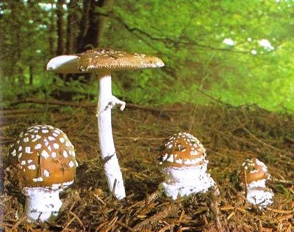Naturf hrer pilze pantherpilz for Manschette blumentopf basteln