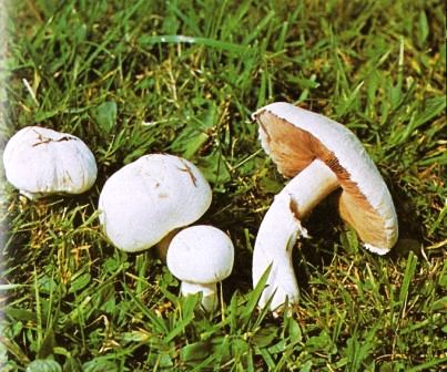 Wiesenchampignon - Agaricus campester (L.) Fr.